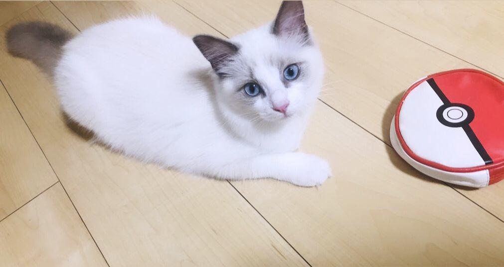 猫 ラグドール ルチアの写真