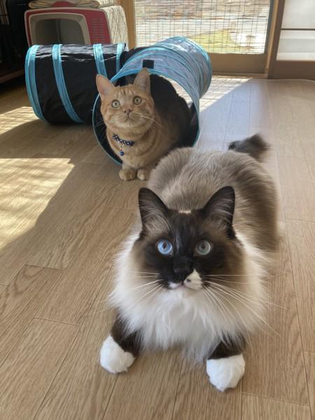 猫 雑種(ミックス) メルとチャオの写真