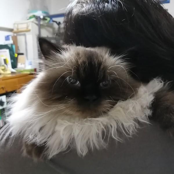 猫 ヒマラヤン ロンの写真
