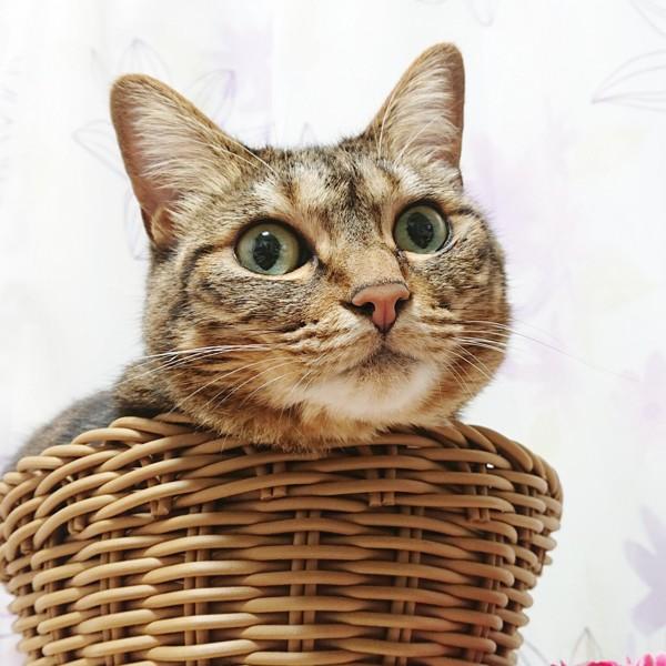 猫 キジトラ ちまきの写真