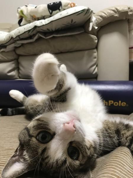 猫 サバシロ かのんの写真