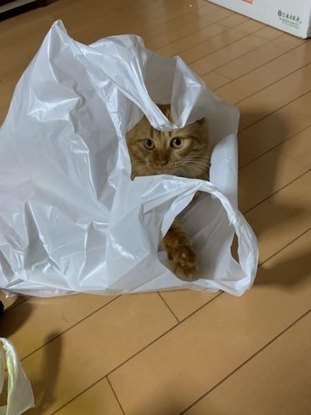 猫 スコティッシュフォールド ひめの写真