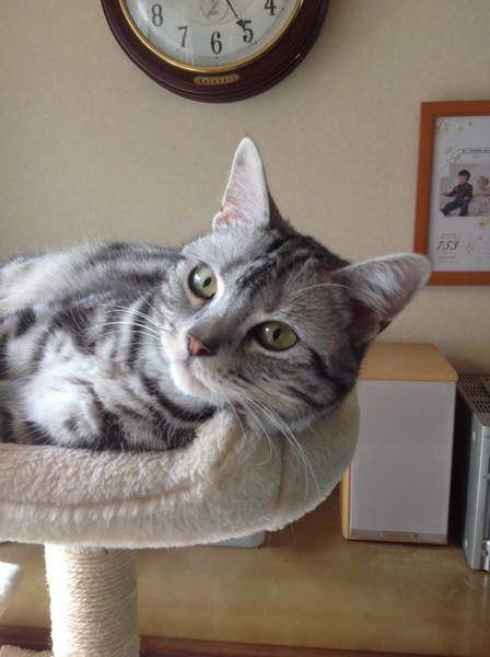 猫 アメリカンショートヘア まるの写真
