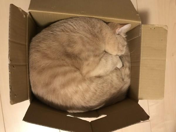 猫 スコティッシュストレート 八雲の写真