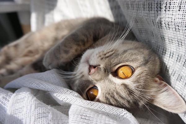 猫 エキゾチックショートヘア うりの写真