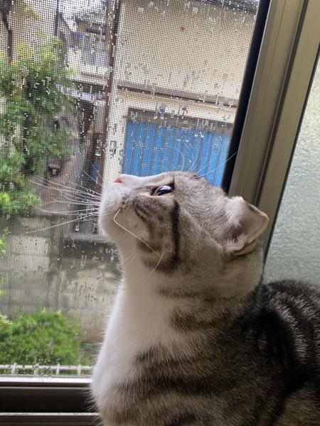 猫 スコティッシュフォールド ももの写真
