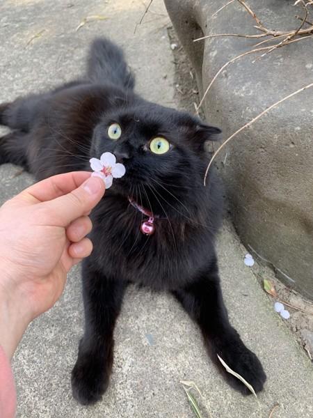 猫 スコティッシュフォールド クータの写真