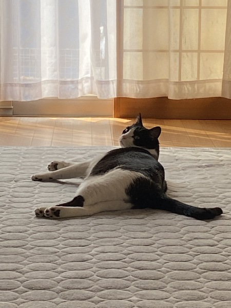 猫 黒ブチ ひまわりの写真
