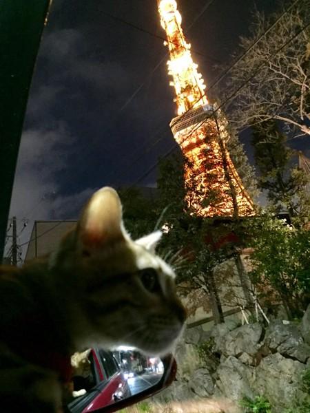 猫 ベンガル ミアの写真