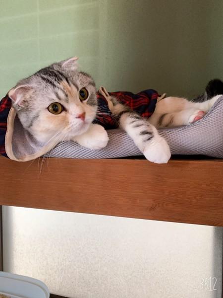 猫 スコティッシュフォールド コットンさんの写真