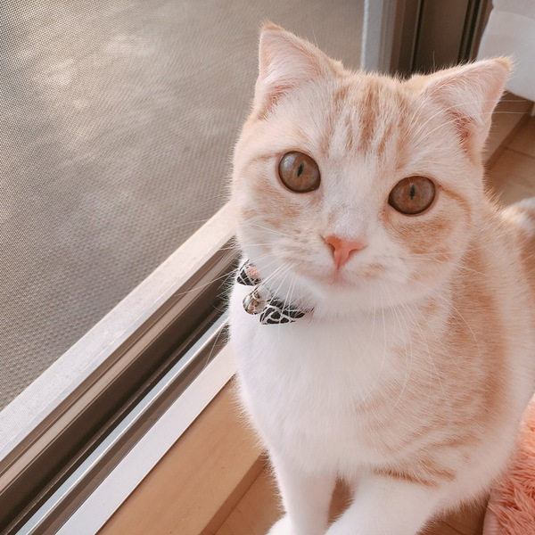 猫 スコティッシュフォールド モナカちゃんの写真