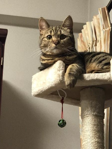 猫 ミヌエット みんとの写真