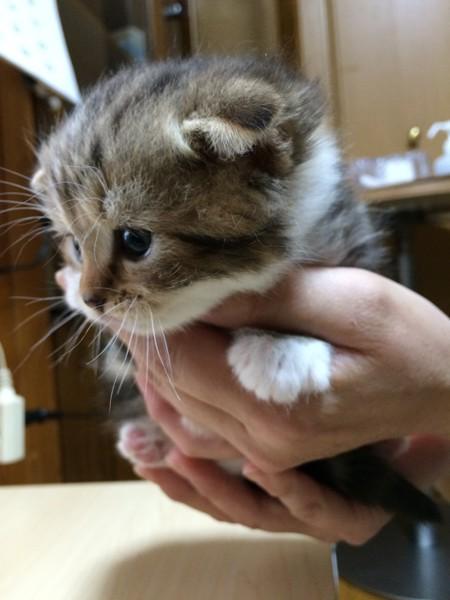 猫 スコティッシュフォールド もかの写真
