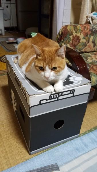 猫 茶白トラ チャチャの写真