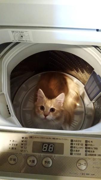 猫 マンチカン jonasanの写真