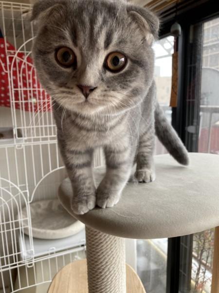 猫 スコティッシュフォールド コタローの写真