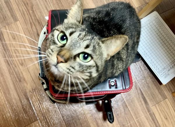 猫 キジトラ ノトの写真