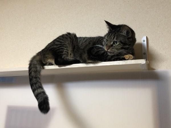 猫 キジトラ みるくの写真