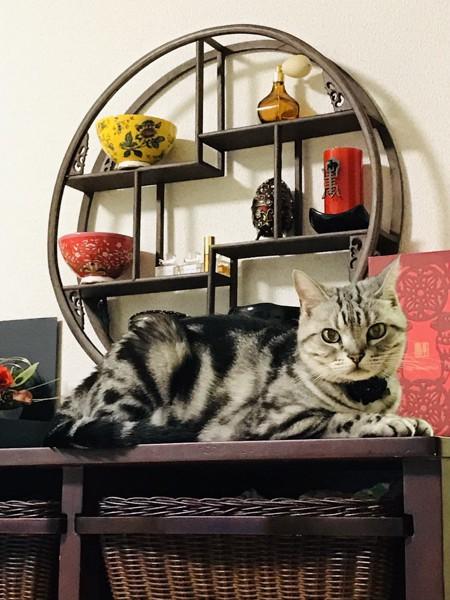 猫 アメリカンショートヘア あんじの写真