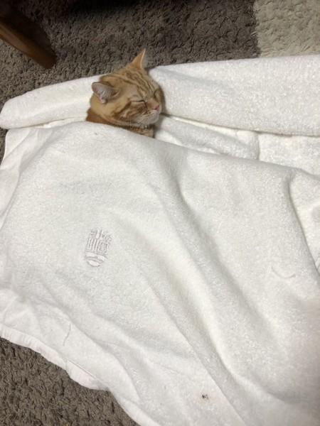 猫 アメリカンショートヘア ハルちゃんの写真