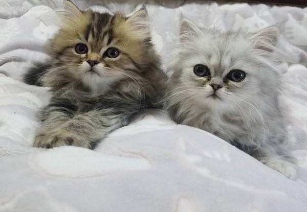 猫 チンチラペルシャ 金之助、銀之助の写真