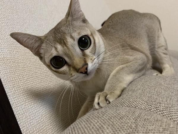 猫 シンガプーラ 豆男の写真