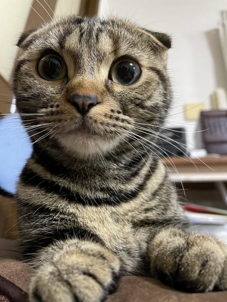 猫 スコティッシュフォールド いろはの写真