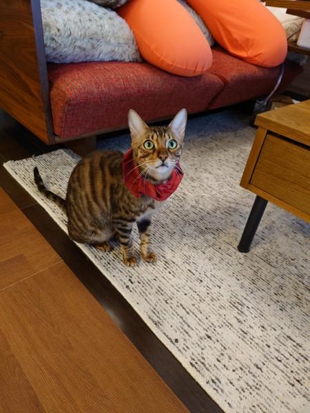 猫 ベンガル 天寅の写真