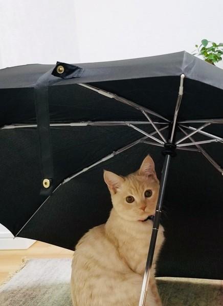 猫 マンチカン ほたての写真