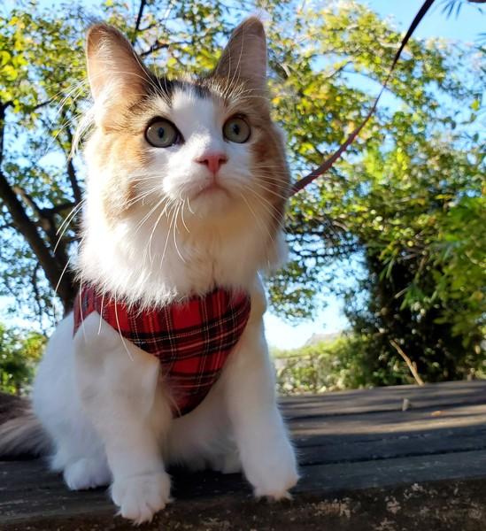 猫 ノルウェージャンフォレストキャット モカの写真