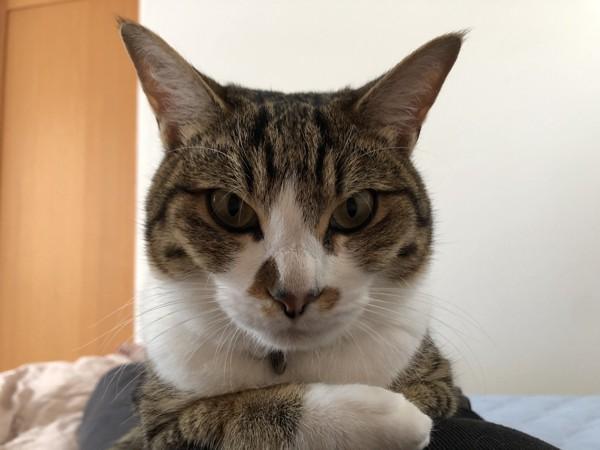 猫 キジシロ 小梅の写真