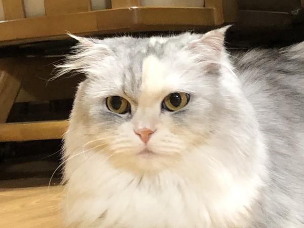 猫 スコティッシュフォールド りんちゃんの写真