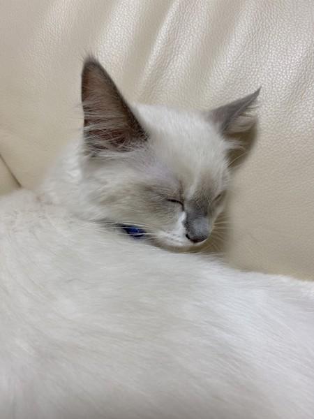 猫 ラグドール さくらの写真
