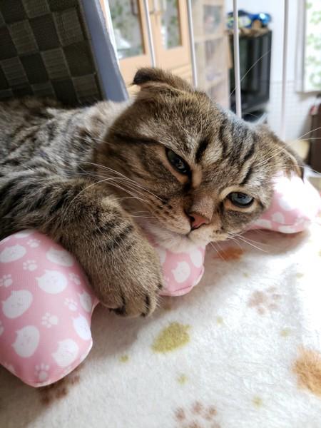 猫 スコティッシュフォールド のんの写真