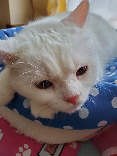 猫 スコティッシュフォールド マリモの写真