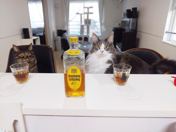 猫 メインクーン あずき&レオンの写真