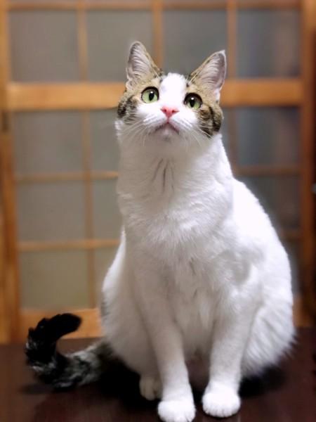 猫 キジシロ れもんの写真
