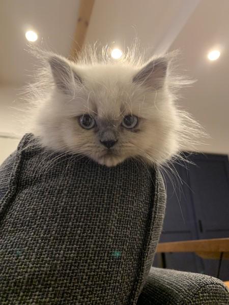 猫 ヒマラヤン ジルの写真