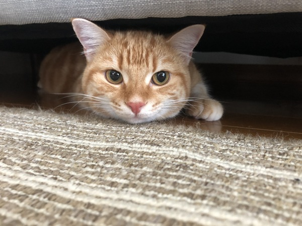 猫 スコティッシュフォールド ナッツの写真