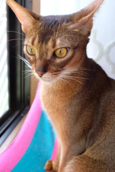 猫 アビシニアン ノアの写真