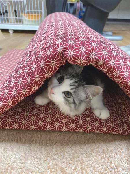 猫 サバシロ まるるの写真