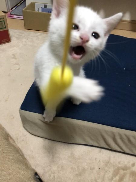 猫 白猫 かにえの写真