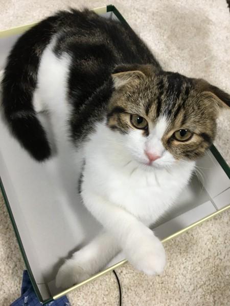 猫 スコティッシュフォールド ふーちゃんの写真