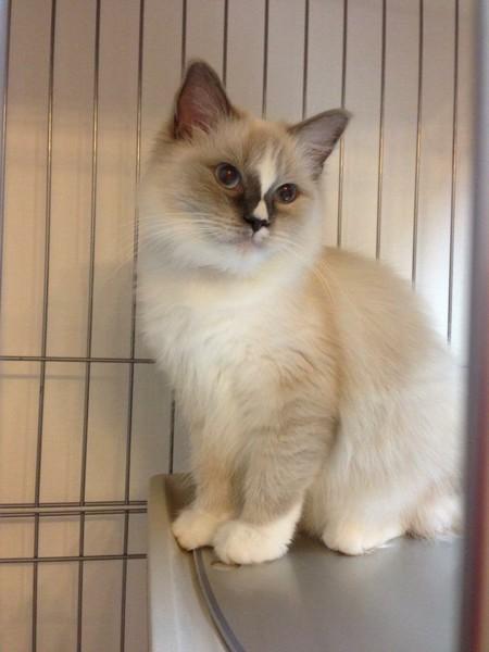 猫 ラグドール 凛の写真