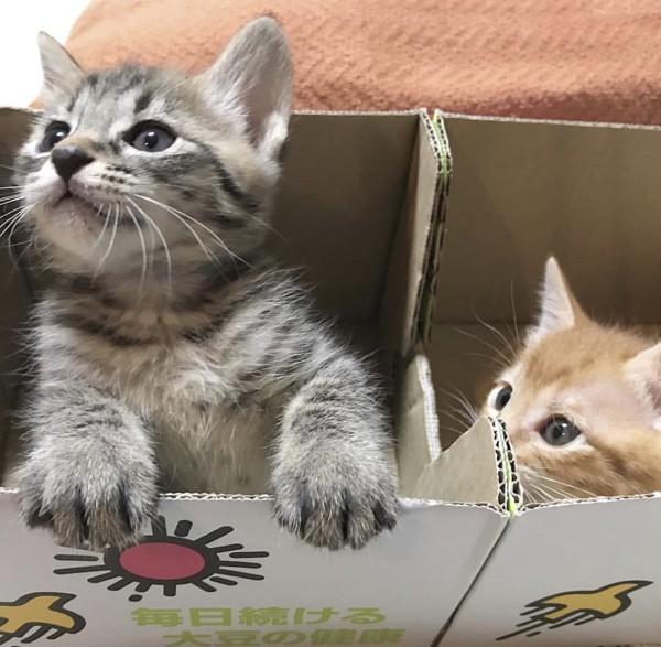 猫 キジトラ 「しゅうゆ」と「ぽんず」の写真