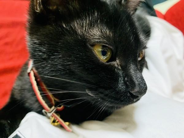猫 ジャパニーズボブテイル ニアの写真