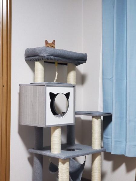 猫 茶白トラ ティモの写真
