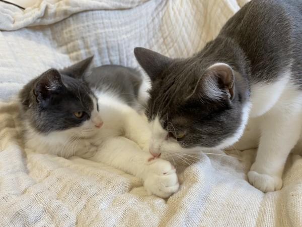 猫 雑種 とんとろ かんぱちの写真