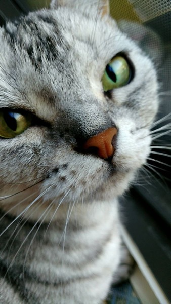 猫 アメリカンショートヘア チャピの写真