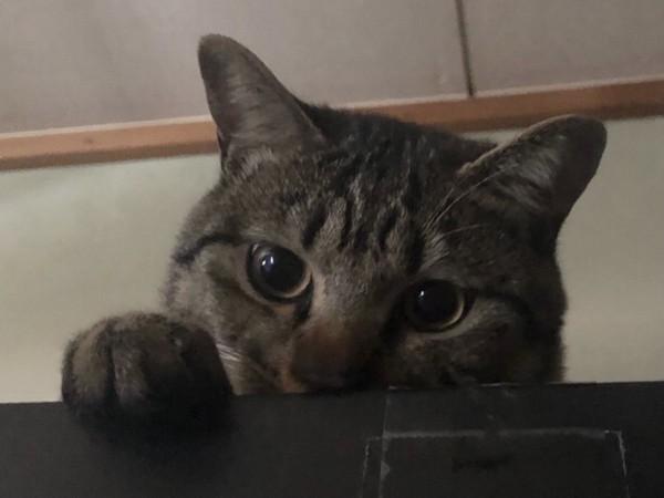 猫 キジトラ とらおの写真